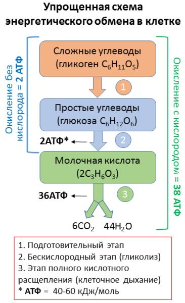 Кислород и энергетический обмен