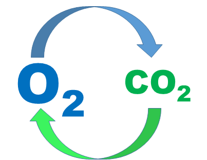 кислород и дыхании